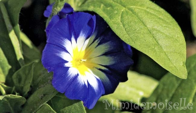 Вьюнок трехцветный выращивание из семян когда сажать 96