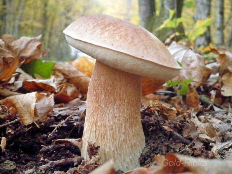 фото и видео белых грибов